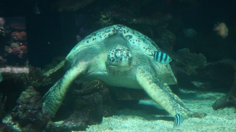 Tartaruga immagine stock immagine di acquario mammifero for Tartaruga da acquario
