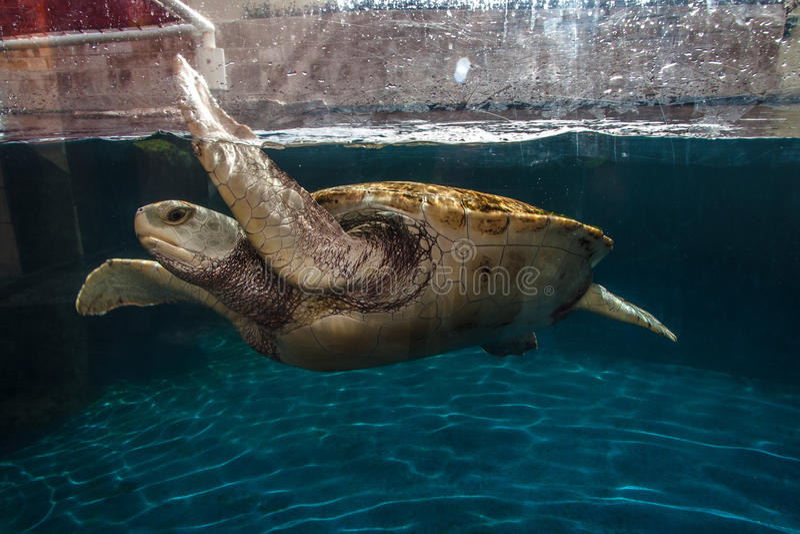 Tartaruga in acquario Cancun fotografie stock libere da diritti