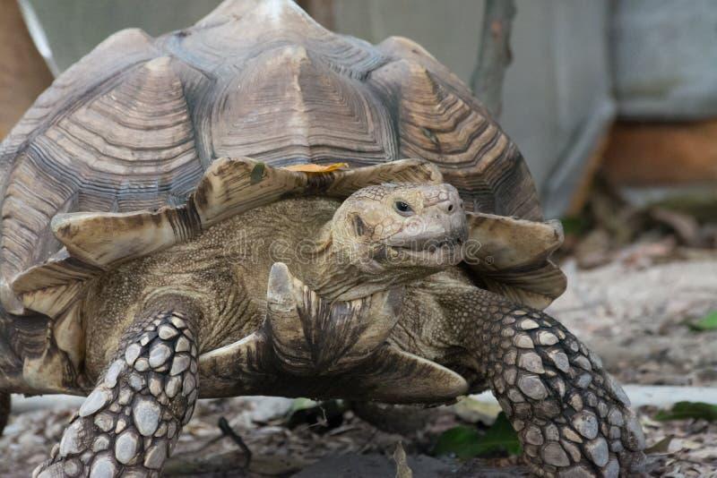 Tartaruga africana del dente cilindrico (sulcata del Geochelone) immagine stock