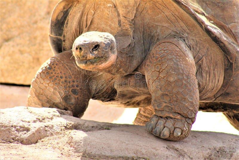 Tartaruga allo zoo di Phoenix, centro per conservazione della natura, Phoenix, Arizona, Stati Uniti di Galapagos dell'Arizona fotografia stock libera da diritti