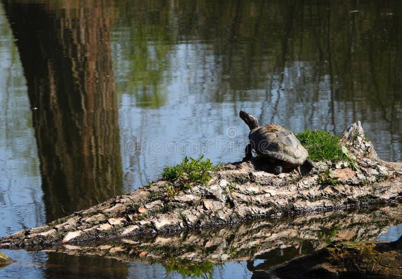 Tartaruga americana em águas checas imagem de stock royalty free