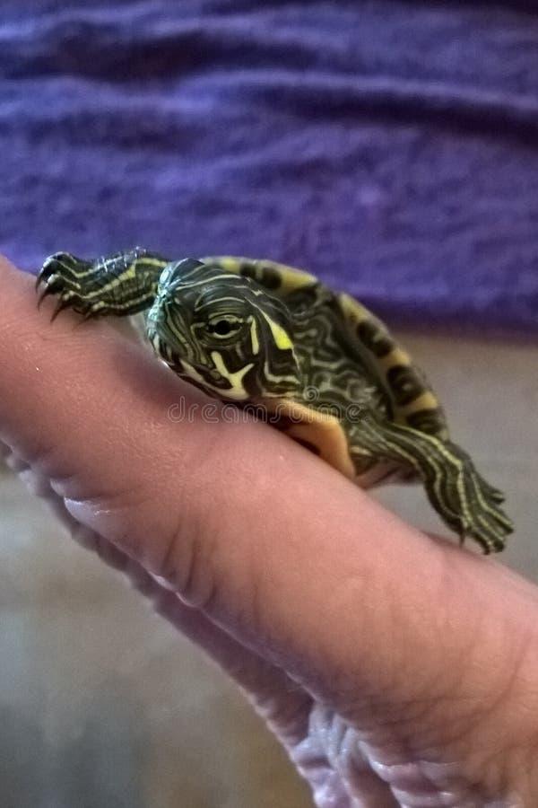 Tartaruga aquática imagem de stock
