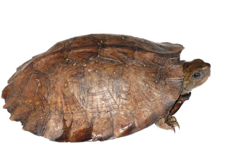 Tartaruga asiática da folha foto de stock
