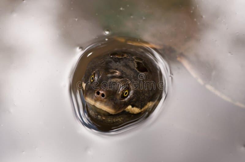 Tartaruga australiana dell 39 acqua dolce fotografia stock for Tartaruga acqua dolce razze