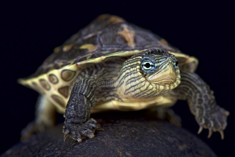 Tartaruga Banda-con il collo cinese (Mauremys Sinensis) fotografie stock