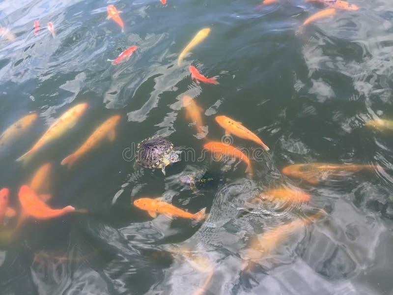 Tartaruga bonito em peixes coloridos foto de stock
