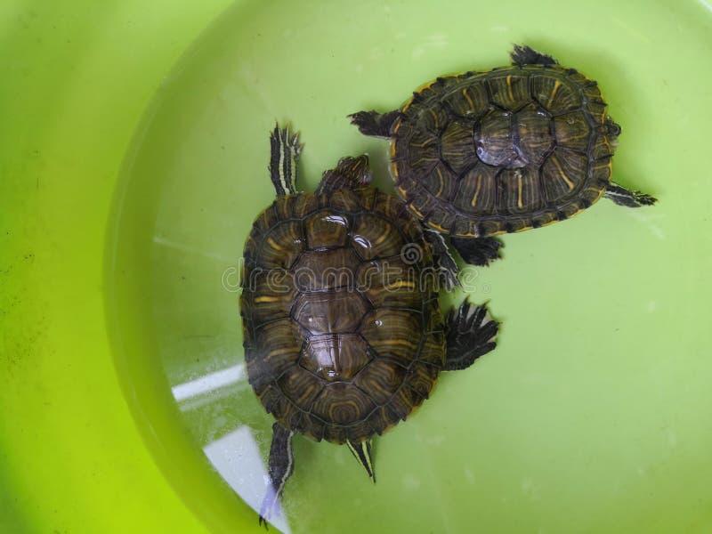Tartaruga brasileira do sono estranho imagens de stock