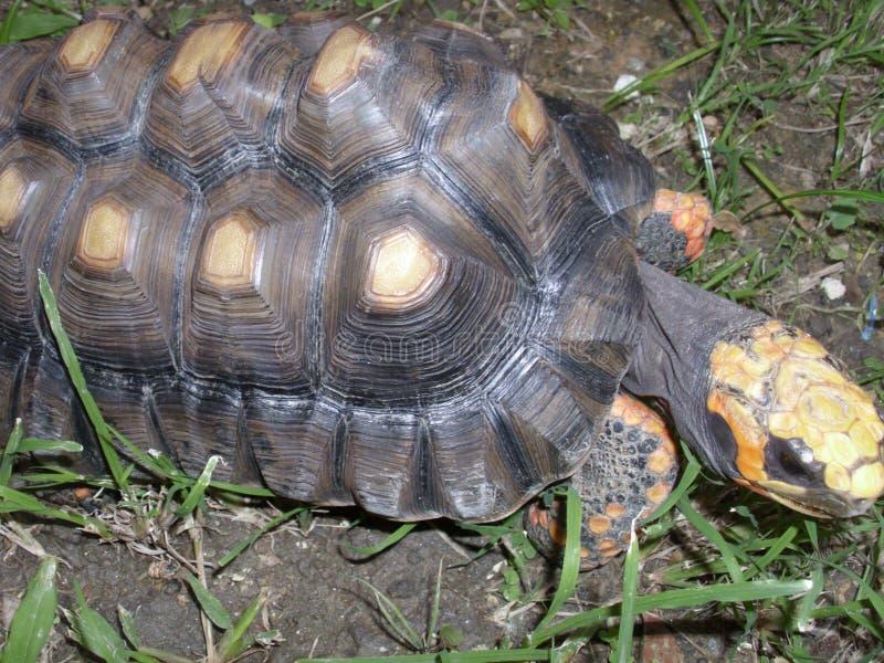 Tartaruga che cammina nell'erba fotografia stock