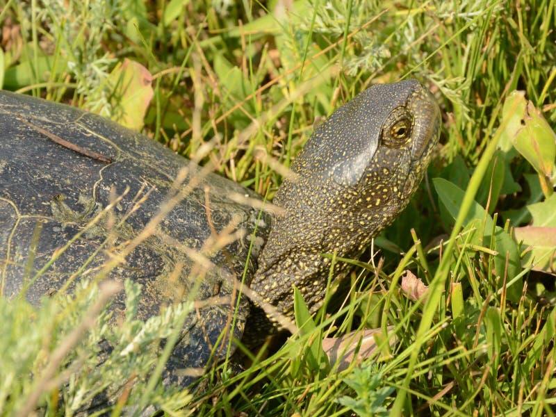 Tartaruga che dà una occhiata dall'erba immagine stock libera da diritti