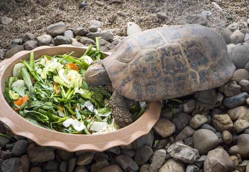 Tartaruga che mangia le verdure dalla a fotografia stock