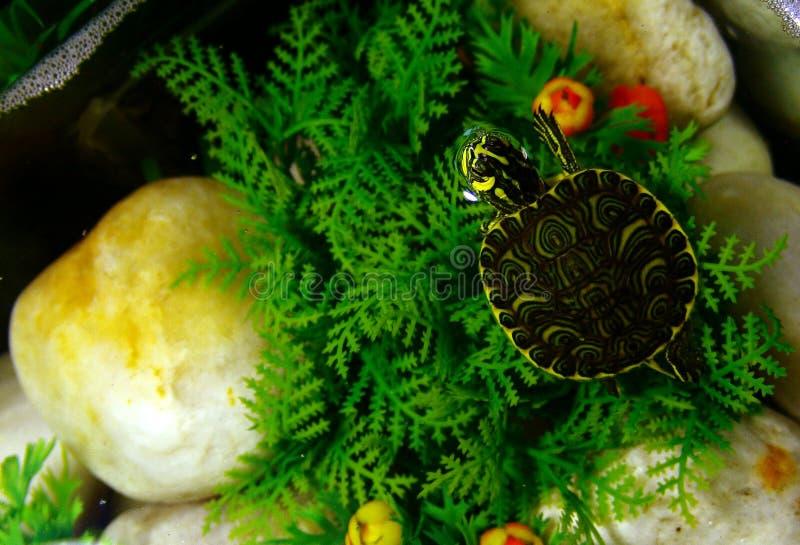 Tartaruga che osserva in su immagine stock