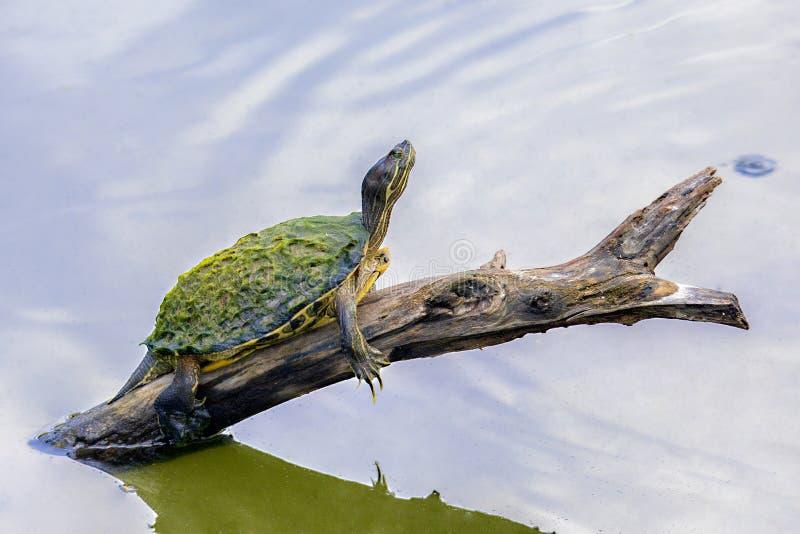 Tartaruga che riposa su un arto di albero che sporge dall'acqua fotografia stock libera da diritti