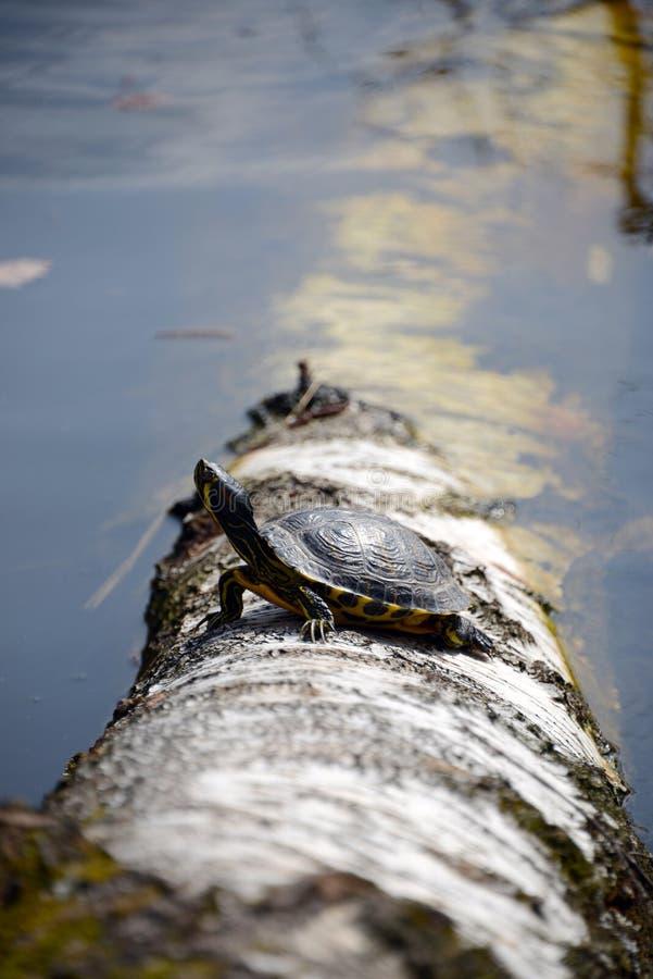 Tartaruga sul tronco di albero in lago immagine stock for Lago per tartarughe