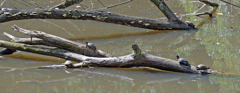 Tartaruga che riscalda al sole sul tronco nel lago fotografia stock