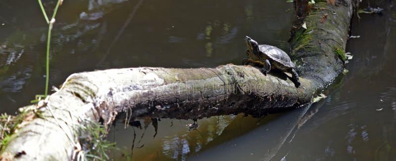 Tartaruga che riscalda al sole sul tronco nel lago immagini stock