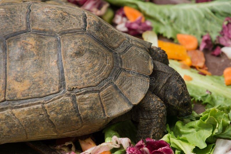 Tartaruga com fome fotos de stock royalty free