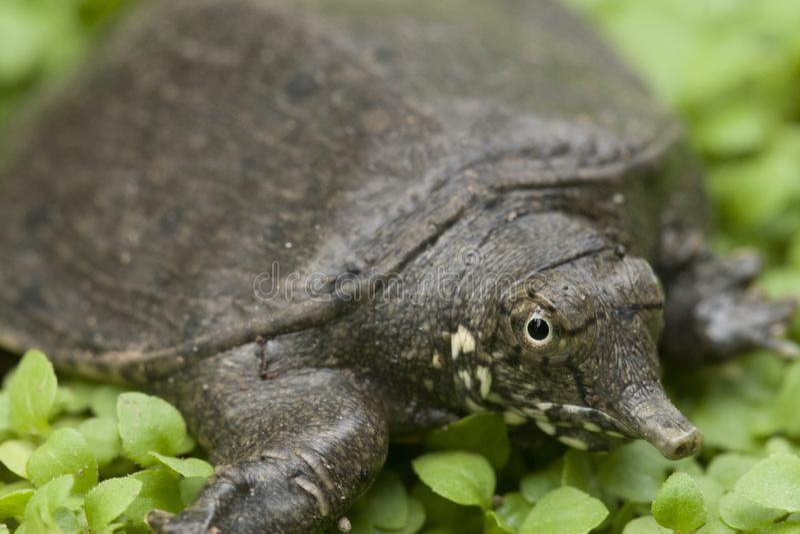 Tartaruga comum do softshell ou tartaruga asiática do softshell fotos de stock