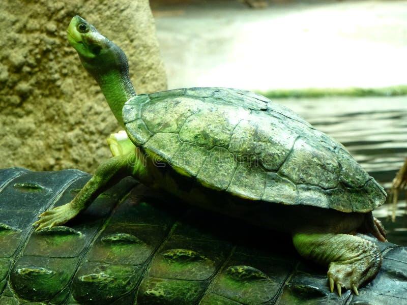 Tartaruga coraggiosa fotografia stock