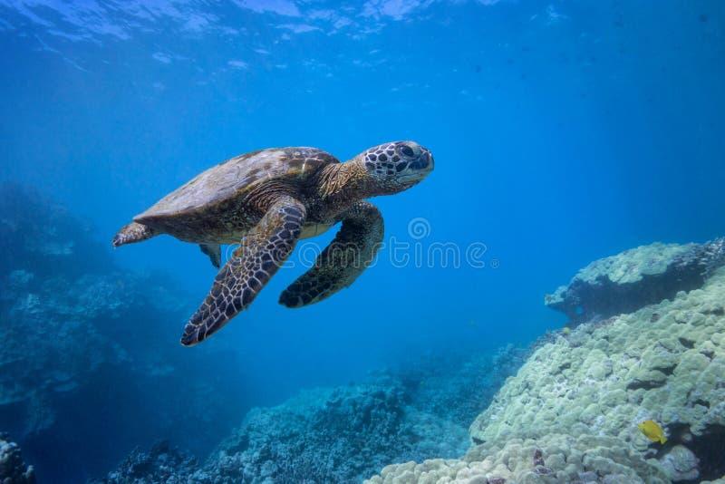 Tartaruga in Coral Hills fotografia stock