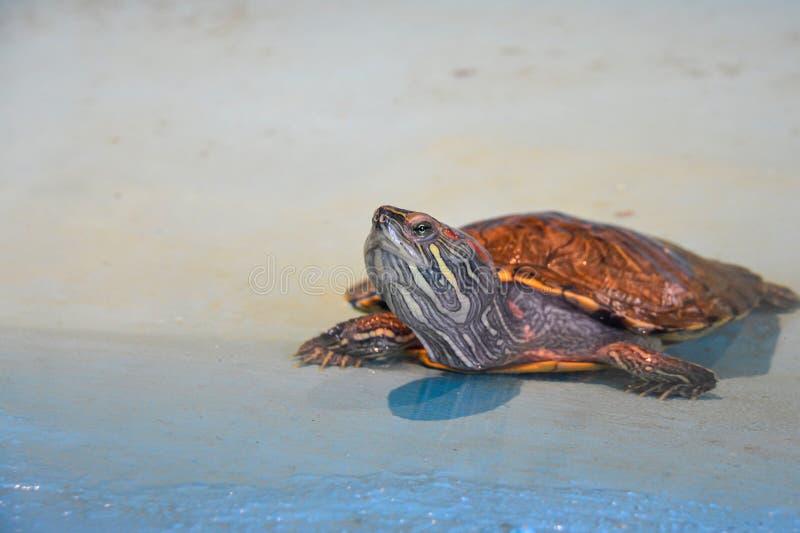 tartaruga d'acqua che crosta al sole Anfibio al confine con la sabbia e le acque bagnate al sole immagine stock libera da diritti