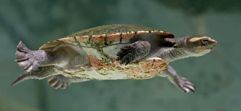 Tartaruga d 39 acqua dolce 2 del fiume fotografia stock for Tartaruga acqua dolce razze
