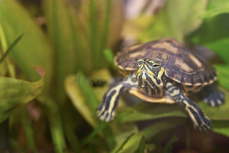 Tartaruga da água fotografia de stock royalty free