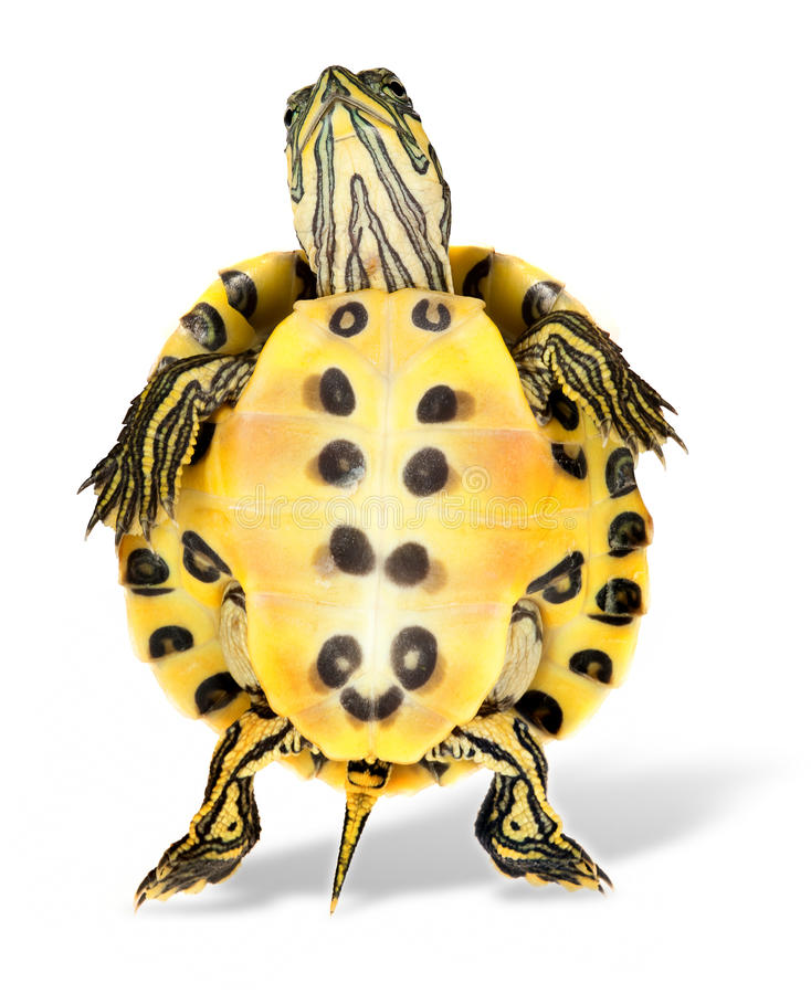 Tartaruga da dança foto de stock