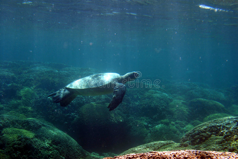 Tartaruga da natação foto de stock