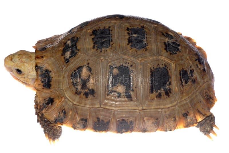 Tartaruga da tartaruga imagens de stock