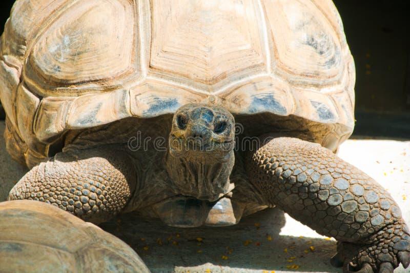 Tartaruga dalle Mauritius immagine stock libera da diritti