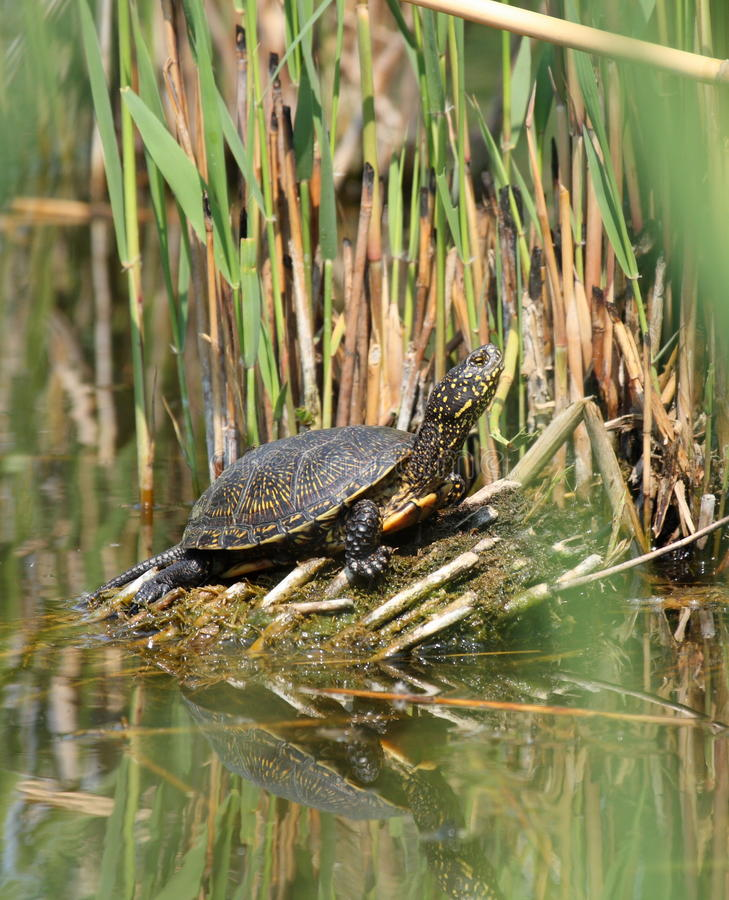 Tartaruga de água doce da lagoa fotografia de stock
