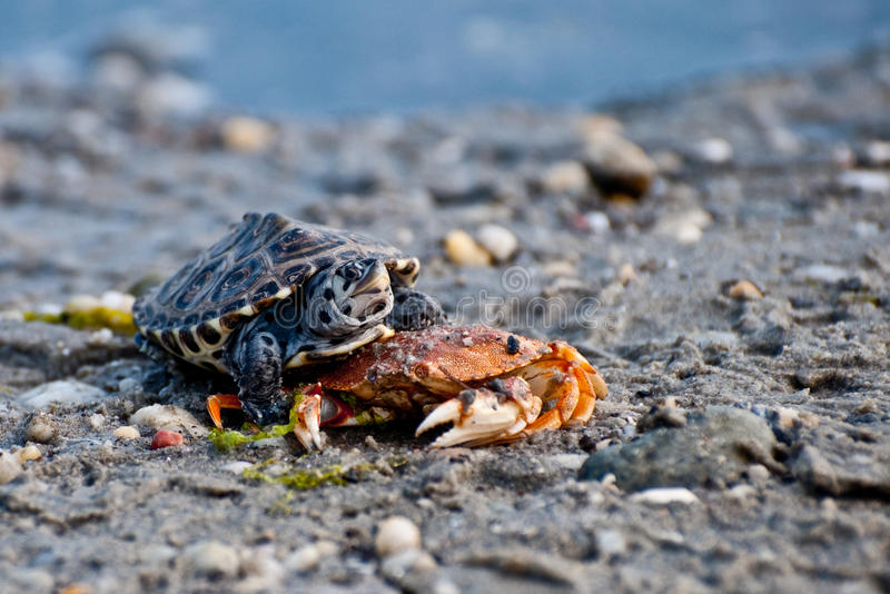 Tartaruga de água doce de Diamondbacks (tartaruga de água doce do Malaclemys) foto de stock