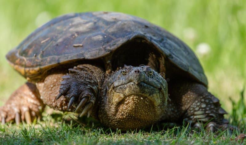 Tartaruga de agarramento comum na grama verde que move seu pé imagens de stock