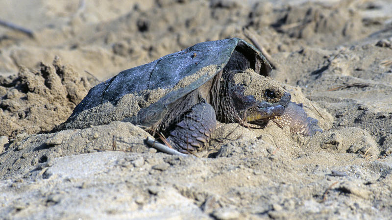 Tartaruga de agarramento fêmea fotos de stock royalty free