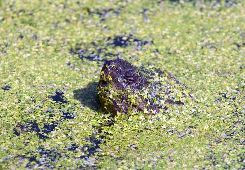 Tartaruga de agarramento na lentilha-d'?gua fotografia de stock