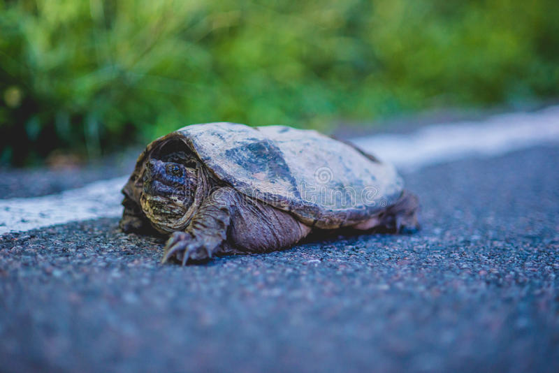 Tartaruga de agarramento no lado da estrada foto de stock royalty free