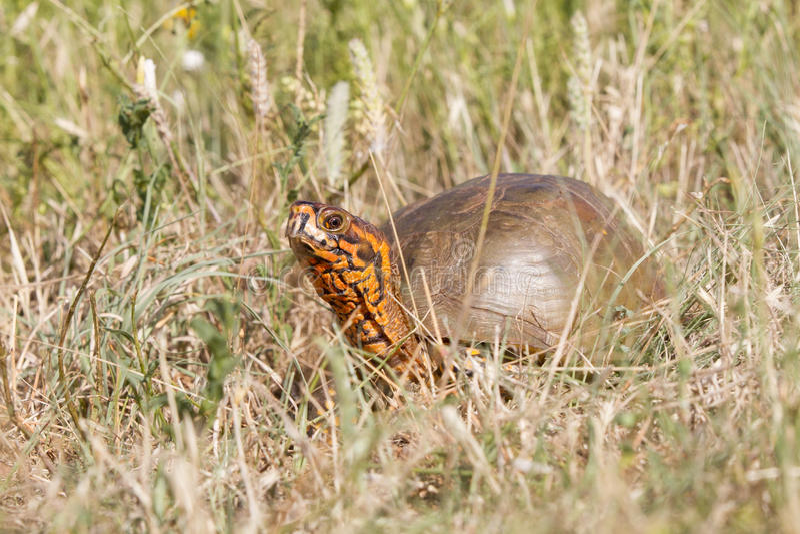 Tartaruga de caixa ornamentado de Oklahoma fotos de stock
