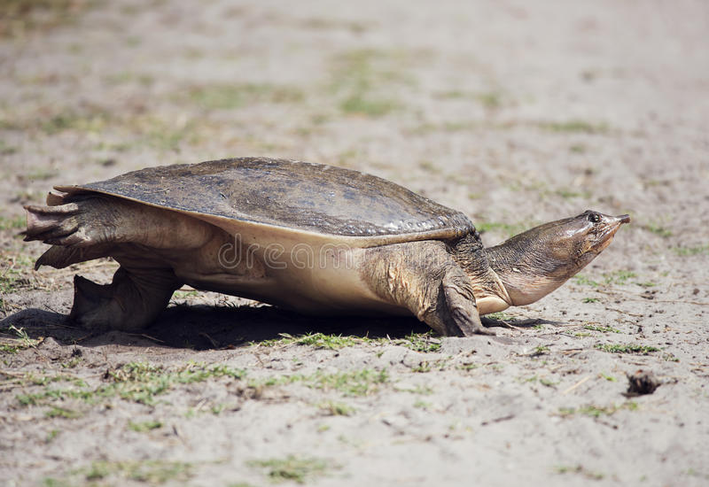 Tartaruga de Florida Softshell imagem de stock royalty free