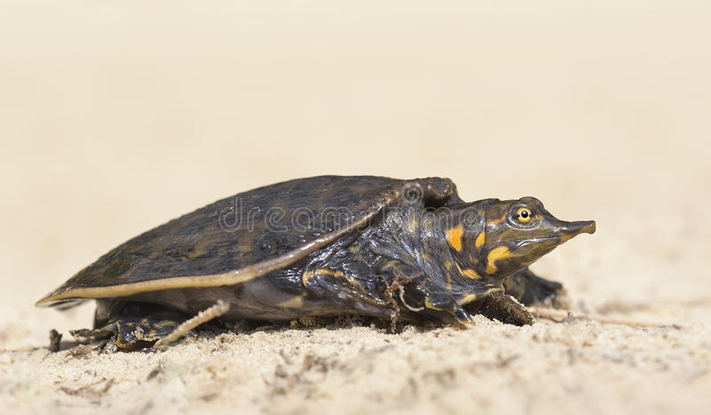 Tartaruga de Florida Softshell do bebê (ferox de Apalone) fotos de stock