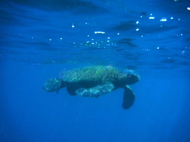 Tartaruga de flutuação imagens de stock
