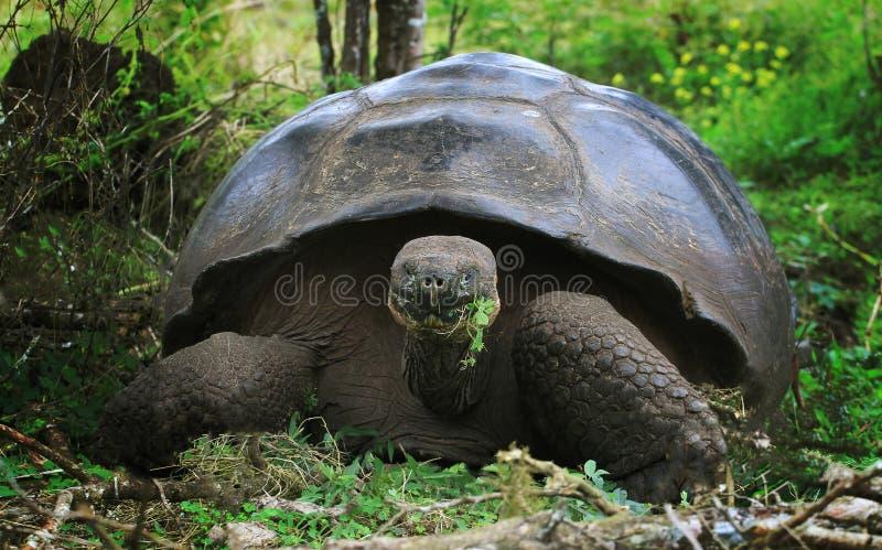 Tartaruga de Galápagos do gigante - selvagem na natureza fotografia de stock