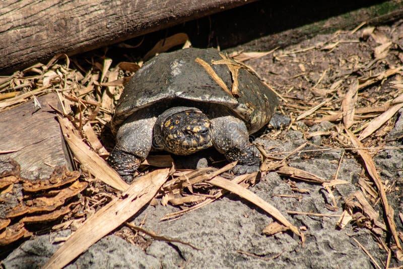 Tartaruga de Gopher foto de stock
