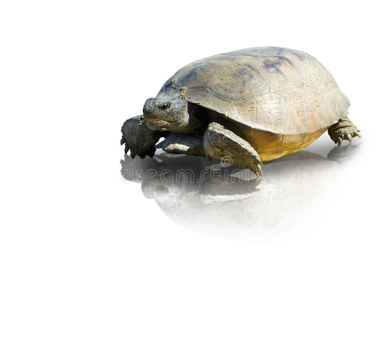 Tartaruga de Gopher imagem de stock royalty free