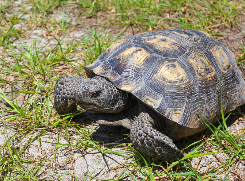 Tartaruga de Gopher de Florida fotografia de stock