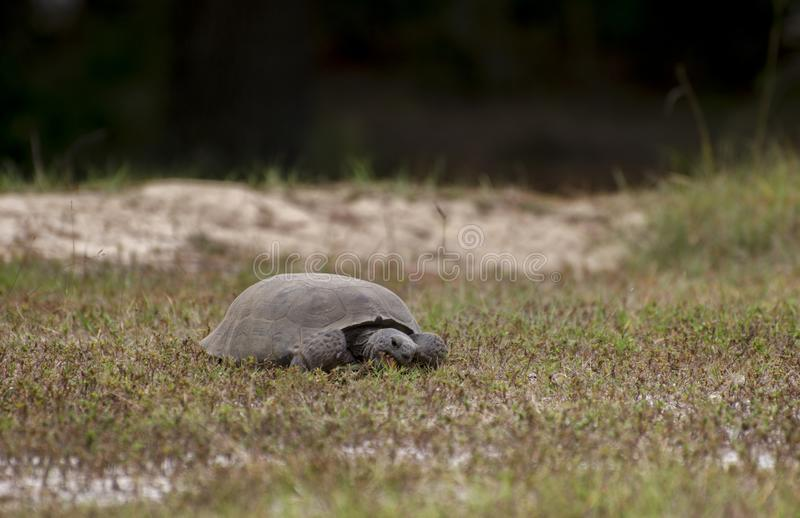 Tartaruga de Gopher que forrageia em Reed Bingham State Park Georgia imagem de stock royalty free