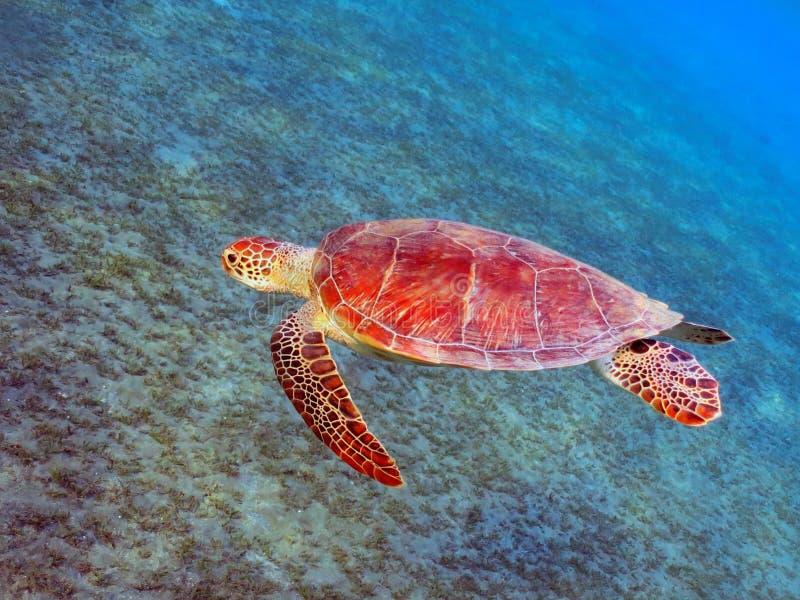Tartaruga de mar foto de stock royalty free