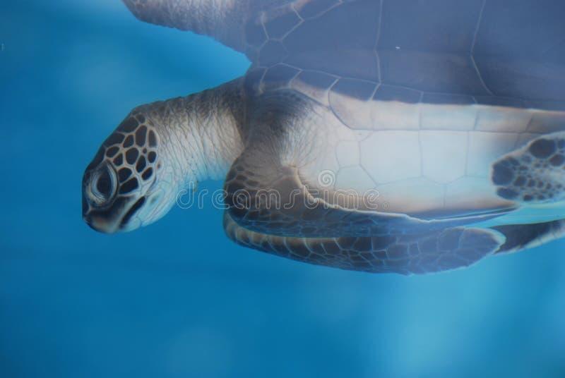 Tartaruga de mar adorável do bebê subaquática fotografia de stock royalty free