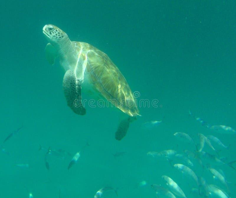 Download Tartaruga De Mar Aplainando Imagem de Stock - Imagem de tartaruga, vida: 10065887
