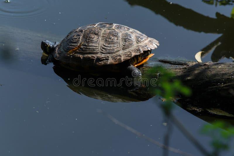 Tartaruga de mar bonita foto de stock