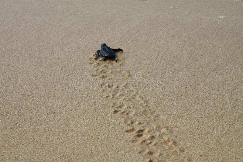 Tartaruga de mar chocada que deixa a pegadas na areia molhada nela a maneira do ` s no mar imagens de stock royalty free